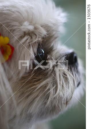 照片 姿势_表情_动作 构图 侧脸 西施 狮子狗 狗  *pixta限定素材仅在