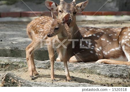 图库照片: 鹿 动物 东山动物园