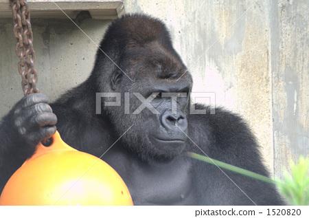 低地大猩猩 大猩猩 动物园