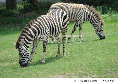 照片素材(图片): 斑马 哺乳动物 条纹式样