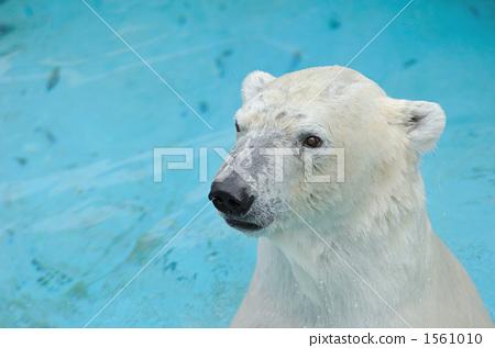 哺乳动物 北极熊 熊