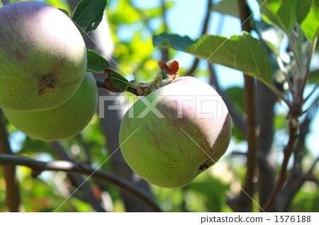 水果 苹果树上 树枝