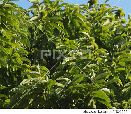 板栗树 叶子 树叶