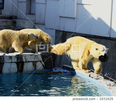 北极熊 父母和小孩 圆山动物园