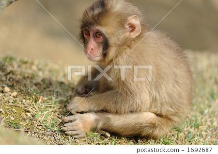 图库照片: 陆生动物 日本猕猴 小猴子