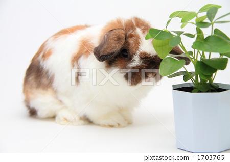 荷兰垂耳兔 动物 动物群