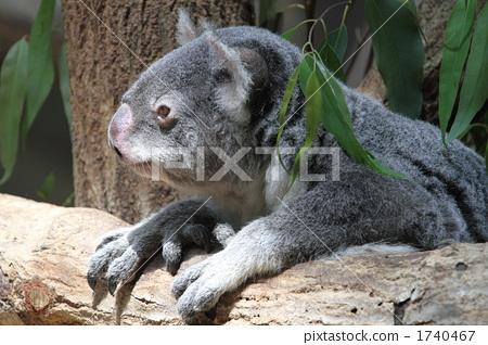 有袋类动物 动物宝宝 陆生动物-图库照片