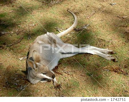 图库照片: 陆生动物 袋鼠 动物