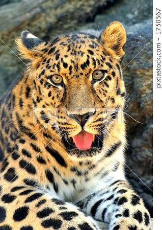图库照片: 豹 肉食动物 猫科