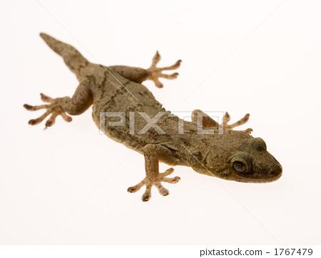 照片素材(图片): 爬行动物 壁虎 爬虫类的
