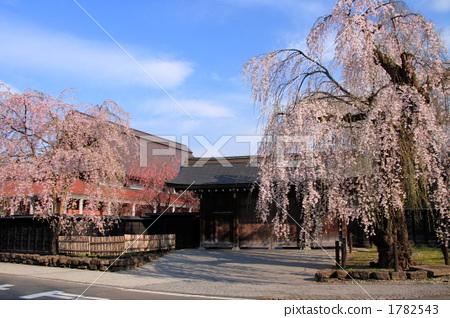 树枝低垂的樱花树 木头