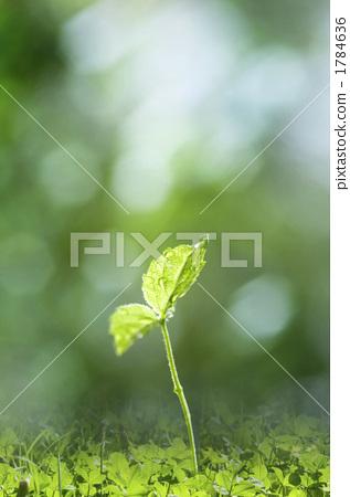 双子叶植物薄荷茎次生结构图