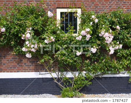 藤本月季 玫瑰 白玫瑰-图片素材 [1787427] - pixta
