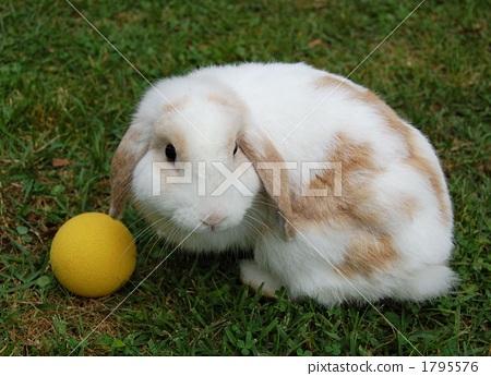 动物宝宝 荷兰垂耳兔 动物