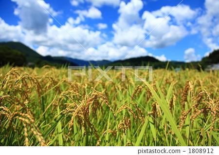 稻穗 首页 照片 植物_花 观叶植物 田野 水稻 稻穗  *pixta限定素材仅