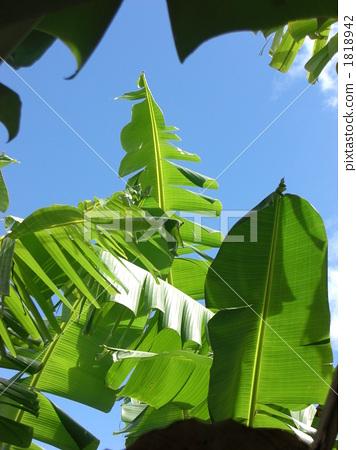芭蕉叶 植物学 植物的