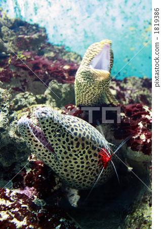 图库照片: 海洋动物 海鳝 咸水鱼