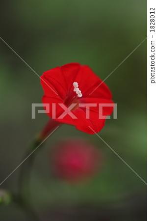 花朵 红色 花瓣