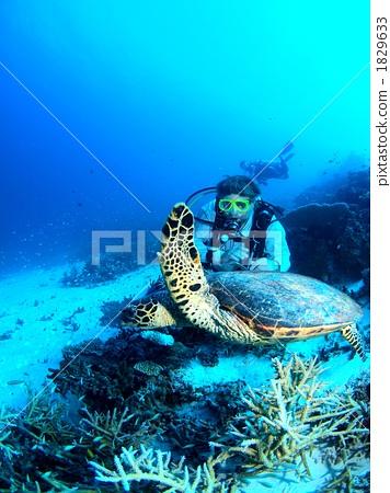 图库照片: 潜水员 海龟 海洋动物