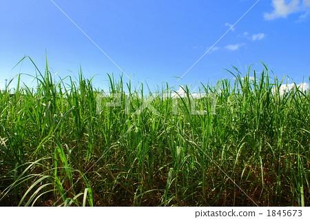照片素材(图片): 风景 田野 蔗田