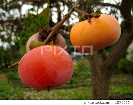 日本柿 水果 柿子树