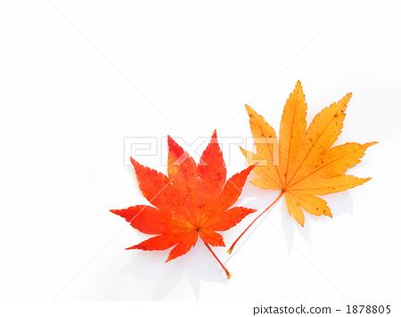 照片 植物_花 树_树木 红叶 红叶 白底 文稿空间  *pixta限定素材仅在