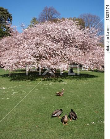 樱花 樱桃树 新西兰