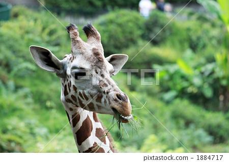 照片: 动物 陆生动物 长颈鹿