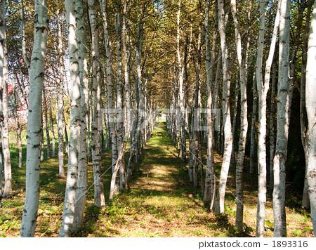 银桦树 植物 清澈