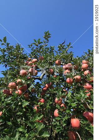 苹果树上 苹果 树干
