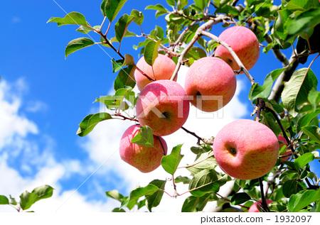 苹果 苹果树上 水果