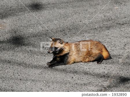 图库照片: 貉狸 动物