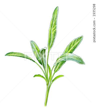 鼠尾草 药草 香草