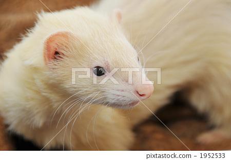 鼬鼠stock photos - pixta