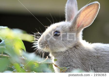 陆生动物 兔子 动物宝宝
