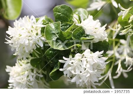 花朵 中国流苏树 花