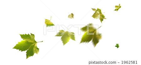 图库照片: 法国梧桐 叶子 树叶