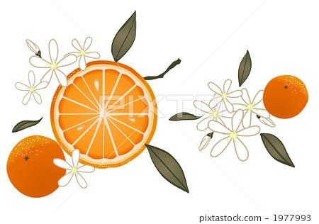 橘子手绘矢量图