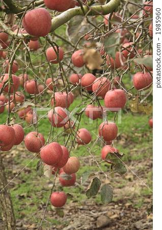 苹果园 苹果树上 水果