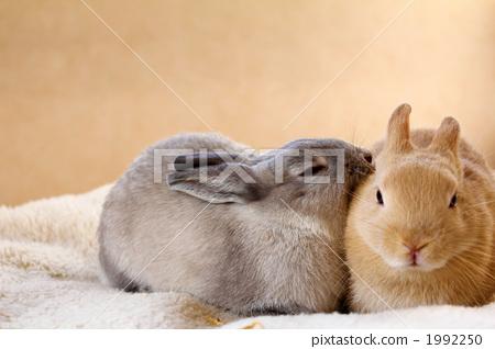 动物 动物宝宝 兔子