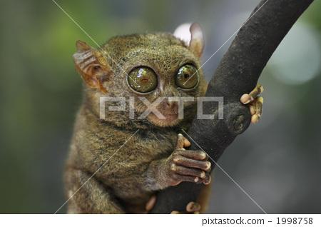 图库照片: 眼镜猴 猴子 热带雨林