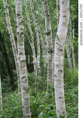 银桦树 桦树 日本白桦