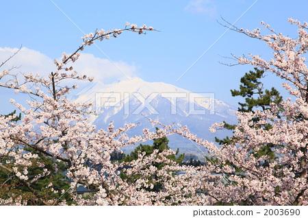 吉野樱花树 花朵 开花