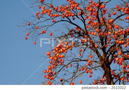 柿子树 日本柿 水果