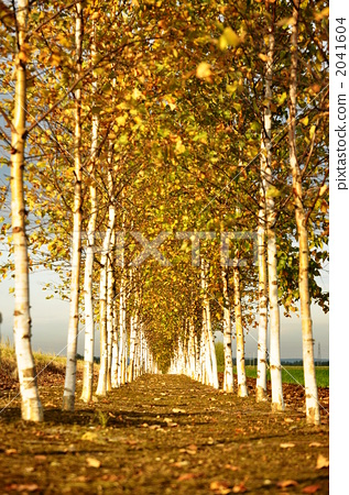 壁纸 风景 森林 树 桌面 桦林 桦树 317_450 竖版 竖屏 手机