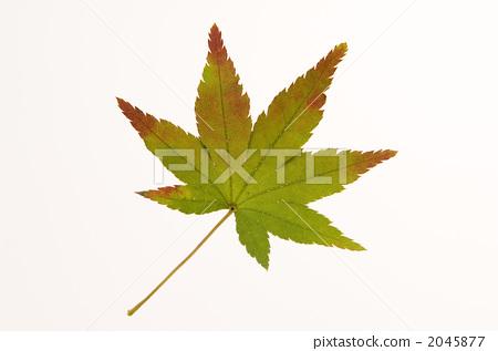 落叶 枫叶 秋天颜色