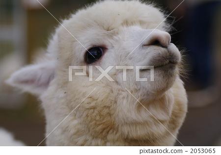 羊驼 陆生动物 动物