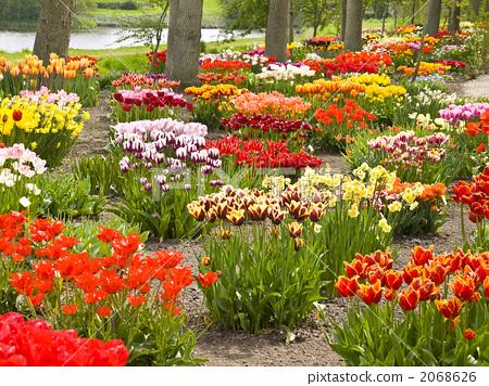 首页 照片 植物_花 郁金香 郁金香花丛 花园 灌木  *pixta限定素材仅