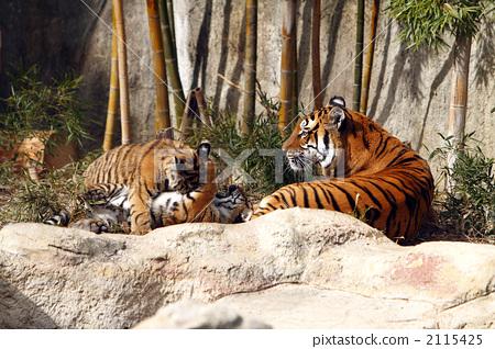 父母和小孩 老虎 母老虎