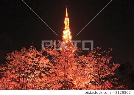 樱花 夜晚的樱花树 东京铁塔